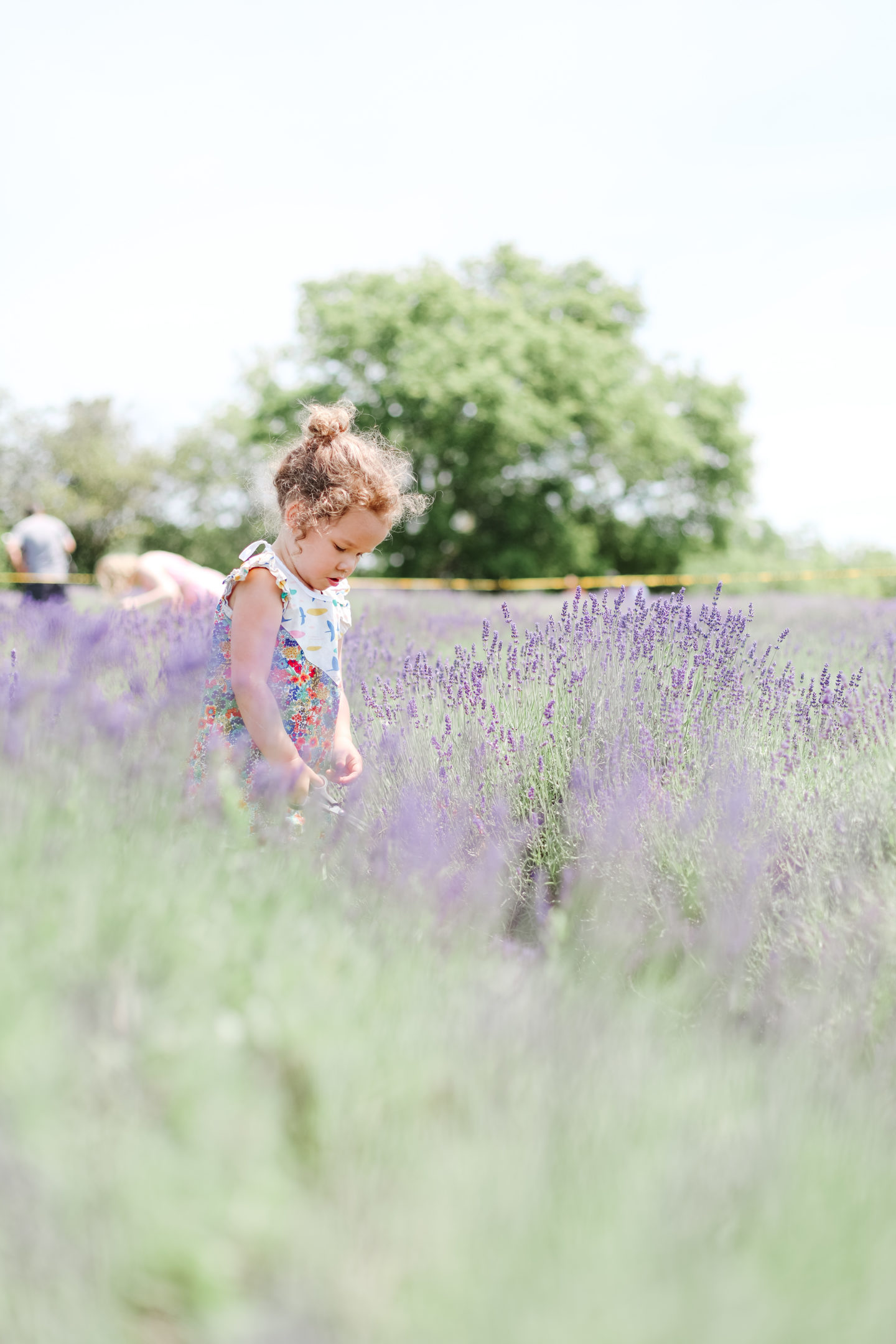 lavender fields and a baby girl