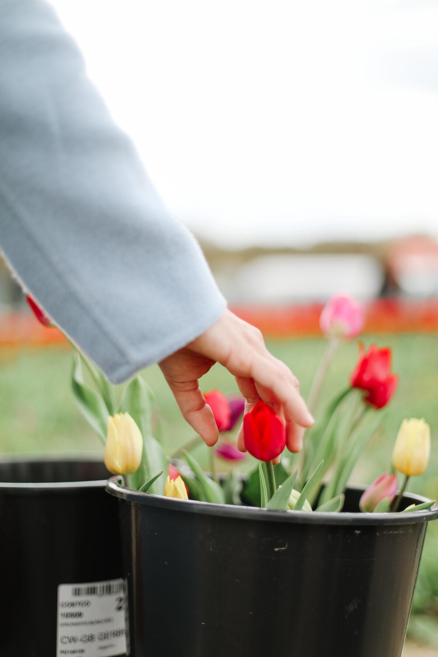 Tulip field trip in Spring