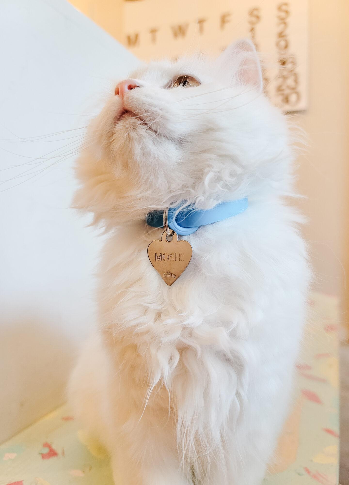Persian kitty cat